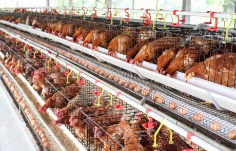 Montefiascone, polemiche per la costruzione di un allevamento di 40 mila galline
