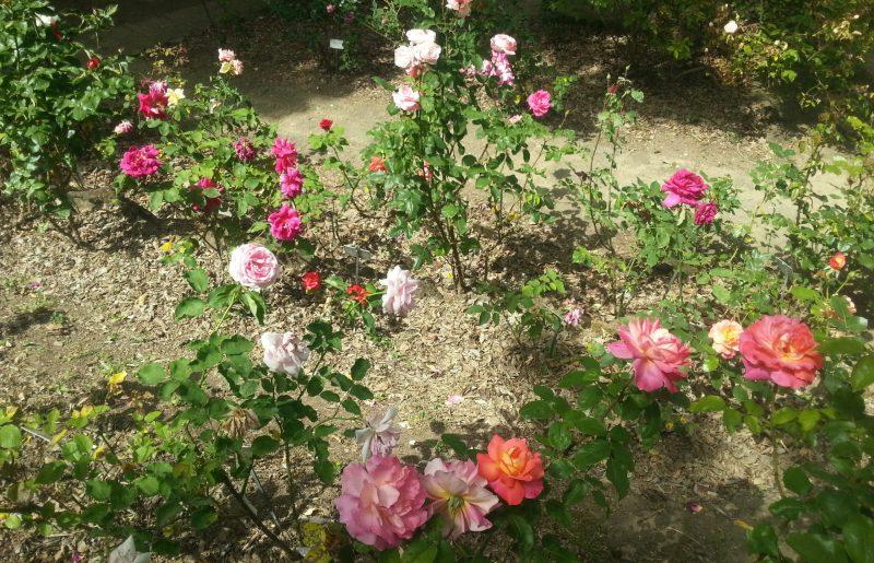 Rinasce il roseto dell'orto botanico